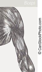 vetorial, médico, anatomia, bíceps, ilustração