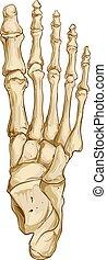 vetorial, médico, anatomia, osso, pé, ilustração