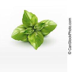vetorial, manjericão, folhas, isolado, branco, fundo