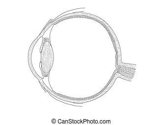 vetorial, olho, ilustração, human