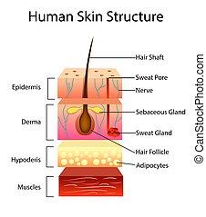 vetorial, pele humana, estrutura, ilustração