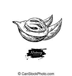 vetorial, sketch., drawing., noz, cozinhar, culinário, macis, fruta, noz moscada, ingrediente, tempero, herbário, flavor., tempero