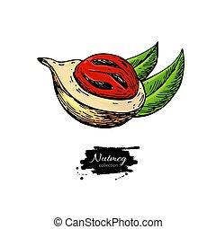 vetorial, sketch., drawing., noz, culinário, macis, fruta, noz moscada, ingrediente, tempero, herbário, tempero