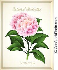 vettore, botanico, hydrangea., illustrazione