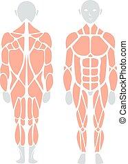 vettore, indietro, anatomia, infographic, muscolo umano, fronte, element.