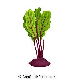 vettore, intero, barbabietola, cime, beet-root, illustrazione