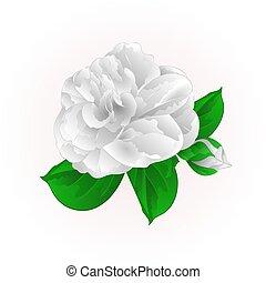 vettore, japonica, bianco, germoglio, fiore, vendemmia, camelia