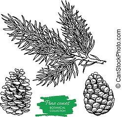 vettore, mano, disegnato, botanico, cono pino, e, branch.