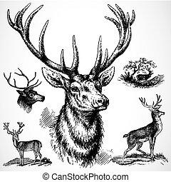 vettore, maschio, cervo
