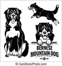 vettore, montagna, set, -, cane, illustrazione, isolato, bernese, fondo, bianco