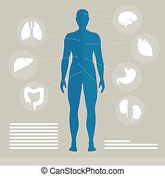 vettore, organi, umano