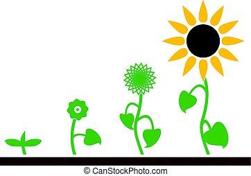 vettore, pianta, palcoscenici, crescita, girasole