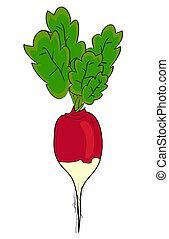vettore, radish.
