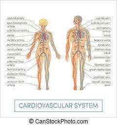 vettore, sistema, cardiovascolare