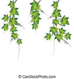 vettore, verde, edera, illustrazione