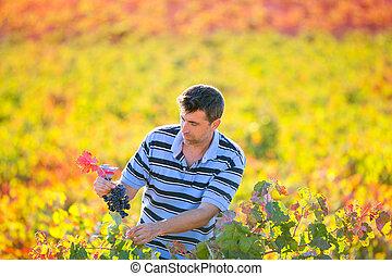 viña, hojas, mediterráneo, otoño, granjero, cosecha, hombre