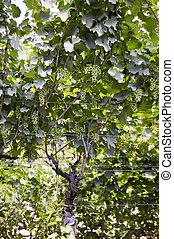 viña, uvas blancas, ramo