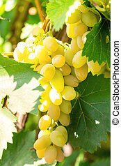 viña, uvas, ramo