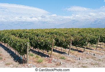 viñas, de, mendoza, argentina
