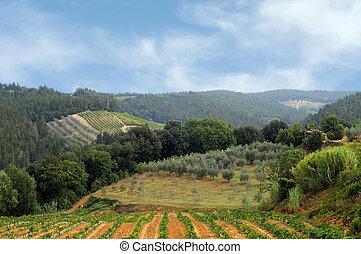 viñas, y, aceituna, campos, en, chianti, toscana
