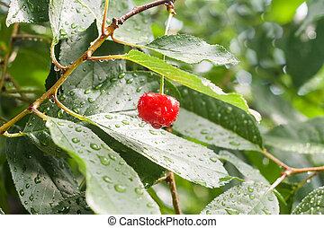 višně, filiálka, déšť