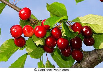 višně, filiálka
