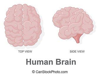 vi, sommet, cerveau, humain, vue côté