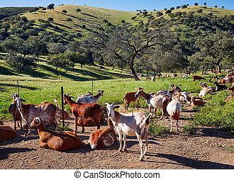 Via de la Plata way goats Sierra Norte Seville - Via de la...