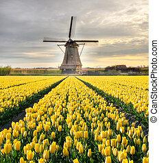 vibráló, tulipánok, mező, noha, holland, szélmalom