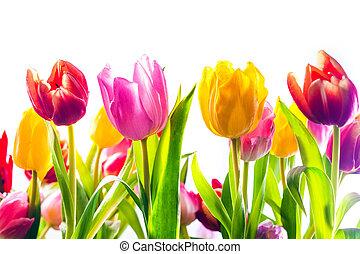 vibrant, achtergrond, van, kleurrijke, lente, tulpen