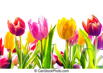 Vibrant background of colourful spring tulips