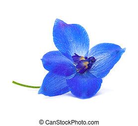 delphinium - vibrant blue delphinium flower isolated on ...