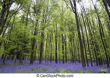 vibrant, bluebell, tapijt, lente, bos, landscape