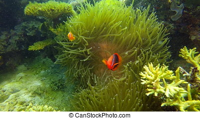 Vibrant colored Cinnamon clownfish, Amphiprion Melanopus in...