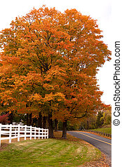 Vibrant Fall Foliage Maple Tree - A bright orange maple tree...