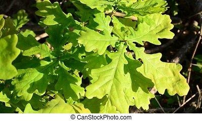 Vibrant green foliage of English oak trembles blown by wind