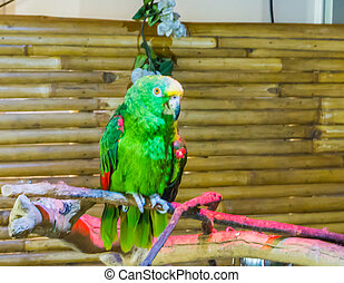 vibrant green funny yellow naped amazon parrot or a yellow crowned parrot sitting on a branch endangered because of deforestation