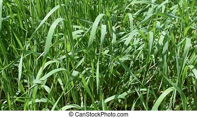 Vibrant green grass background blown by breeze - Lush...