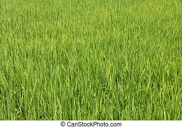Vibrant Green Rice Paddy Field Central Vietnam.