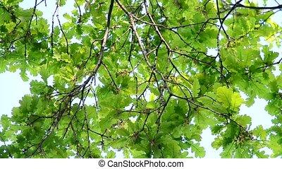 Vibrant lush green foliage of English oak filling the frame