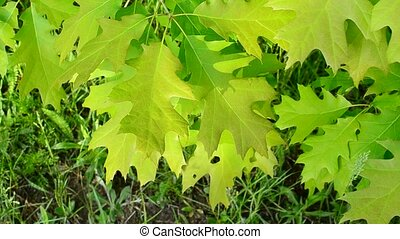 Vibrant, lush, green foliage of northern red oak tree stirred gently by breeze