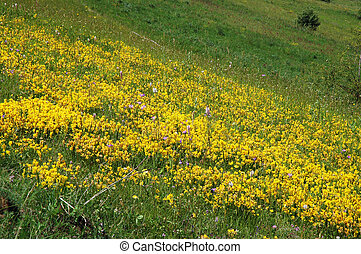 Vibrant meadow full with yellow flowers in spring