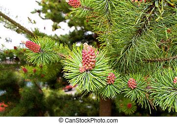Vibrant Pine Cones - Uniquely colord pine cones on a tree in...