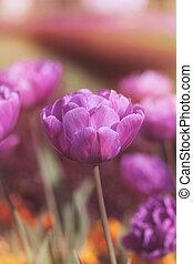 Vibrant purple tulips