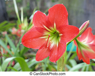 Vibrant red amaryllis flowers