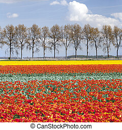 vibrant red and yellow tulips on field with tree line and blue sky in the background