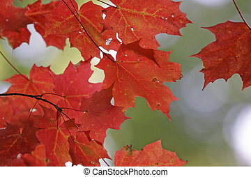 Vibrant Red Maple Leaves