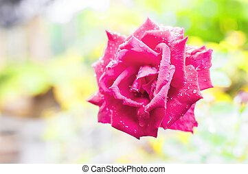 Vibrant red rose with raindrops and bokeh background