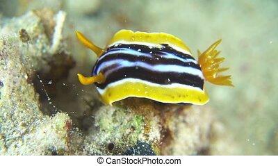 Vibrant Sea Slug on Coral Reef, macro