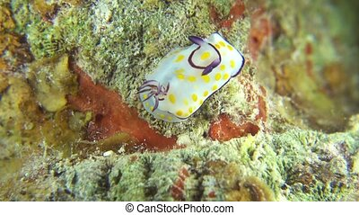 Vibrant Sea Slug on Coral Reef, macro